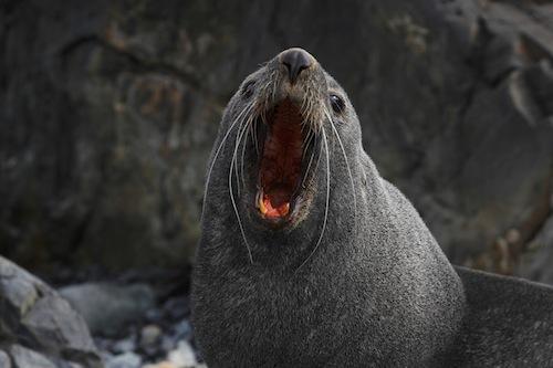 Antarctique; Iles Shetland du Sud; Ile Half Moon; Otarie à fourrure Antarctique