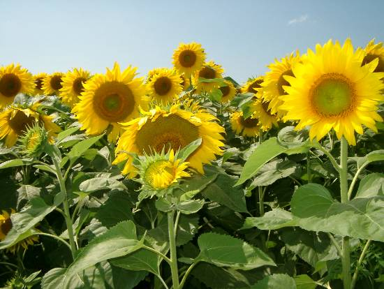 fleur-champs-infini-upton-cantons-